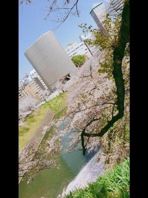 ( ´・ω・)桜