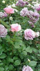 """この時期、街には沢山の薔薇を見掛けます("""" ⌒∇⌒"""")"""