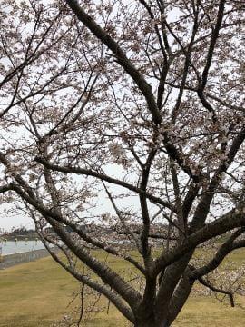 桜<img class=&quot;emojione&quot; alt=&quot;🌸&quot; title=&quot;:cherry_blossom:&quot; src=&quot;https://fuzoku.jp/assets/img/emojione/1f338.png&quot;/>