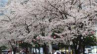 桜も散り始めてきゃってるのかなぁ?